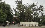 Maulbeerfeigenbaum